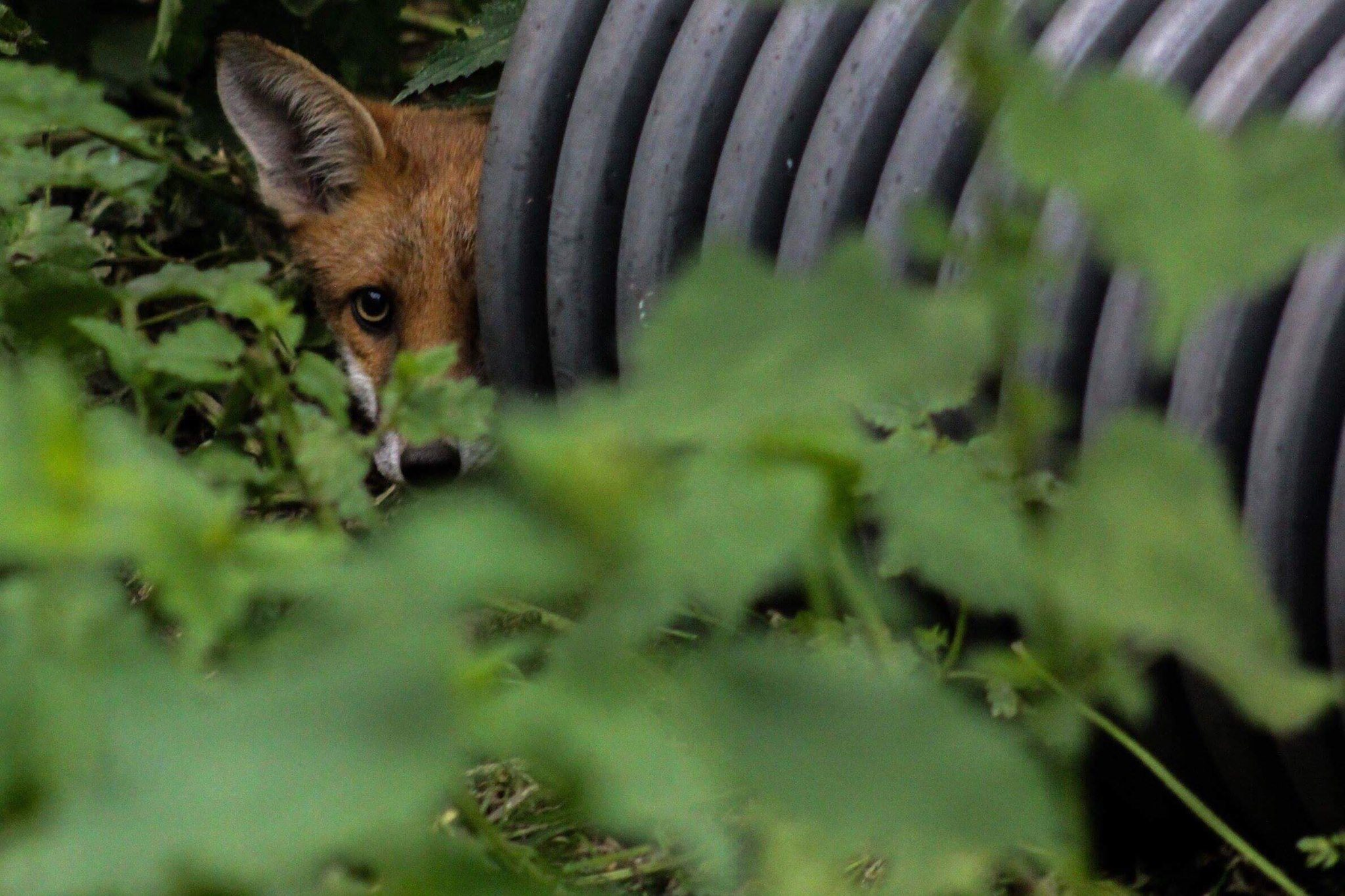 The dead animal will simply be replaced by another coming in to take over the territory. Foxes have an average life expectancy of 2 years.